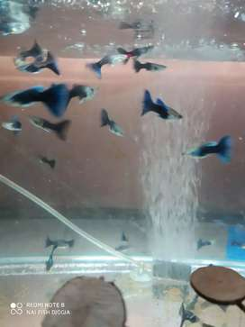 Ikan Guppy hb blue cakep bro