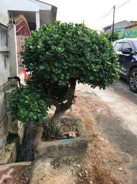 Pohon Bonsai Beringin Dolar-Beringin Korea
