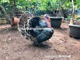 Ayam kalkun jantan 1 tahun