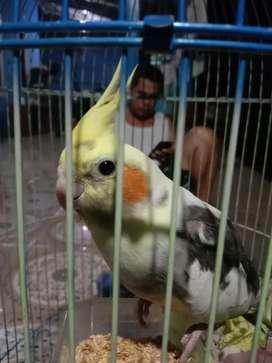 Burung falk jantan isian murai