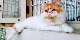 Top Quality Red and White Punch face male cat available for matting