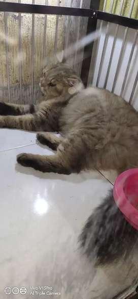 Kucing Anggora Jantan Umur 1 Tahun