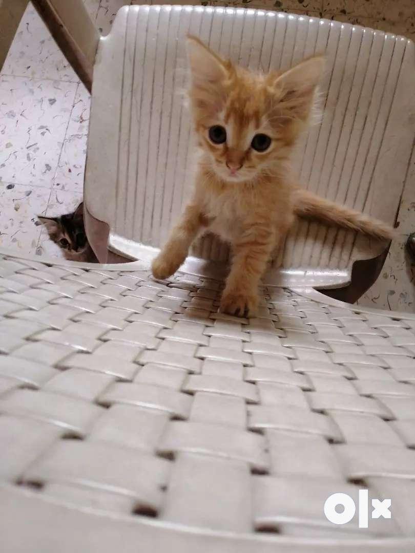 Female Persian kitten sale 0