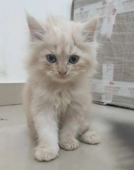 PERSIAN KITTENS AVAILABLE FOR SALE!!!