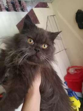 Lepas adopt kucing Persia flatnose jenkel jantan