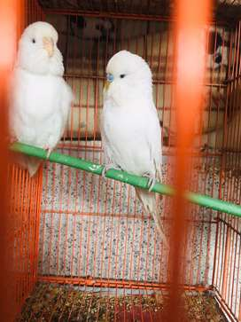 Exhibition Breeder Pair with eggs & cage