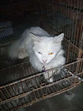 White Persian dot eyes male is 8 month