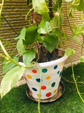 Triple shaded money plant with hand painted pot