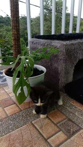 Kucing Persia Medium - BabbyKitten Betina
