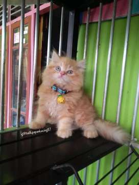 Kitten persia jantan wrn oren,  bagus dan gembul..  Aktif dan gembul
