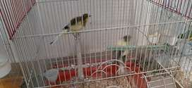 Canary pairs available