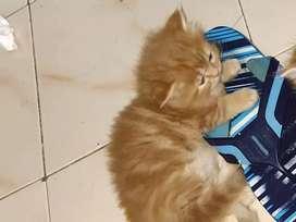 Pure Persian kittens at koregaon park pune