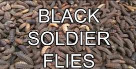 Soilder fly larve feed ( better than meal worms)