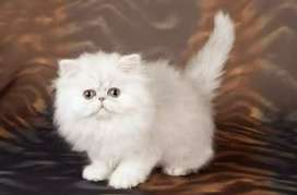 Persian Kitten ( White) (Triple Coated)