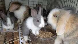 Jual kelinci dutch lucu imut berkualitas