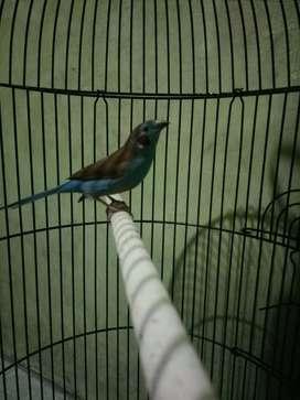Cordon blue finch