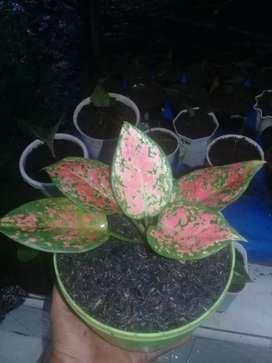 Jual tanaman hias jenis aglonema