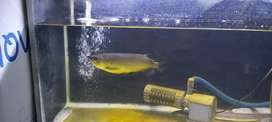 Ikan Arwana size 25 cm ( Full Set )