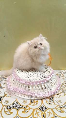 Baby Persian cat kitten sale all beautiful colors are available