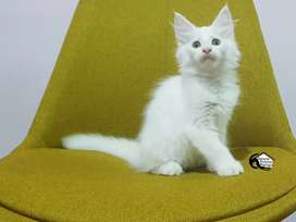 Kitten pure Mainecoon / maine coon white solid PED CFA