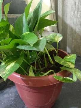 Money Plant Pot
