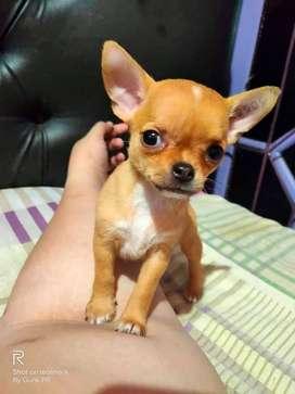 Chihuahua betina 4 bulan