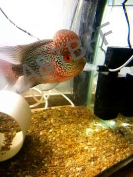 Baby Black mask flower horn fish show class grade