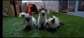 Kucing Himalaya 3 bulan