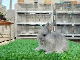 Kelinci neterland dwarf warna biru