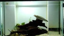 ikan gabus hias chana asiatica