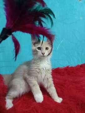 Kitten mainecoon betina 3 bulan non ped