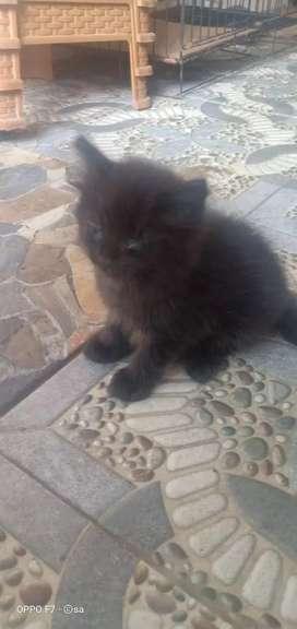 Anakan kucing persia