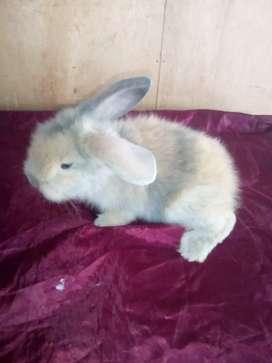 Kelinci anggora usia 2 bulan jinak semua.