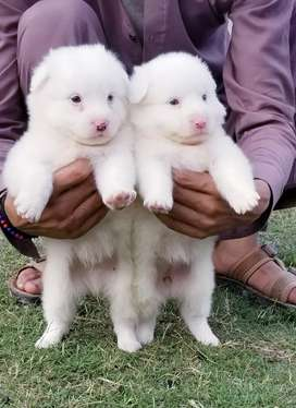 pink nose Russian puppy pair for sale