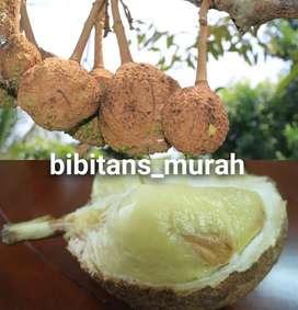 Bibit Durian Gundul Okulasi