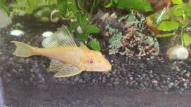 Albino pleco 4-5 inches