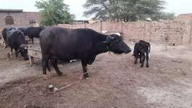NEELI  RAVI BUFFALO FOR SALE