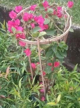 Pohon hias bugenvile