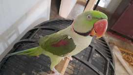 Raw Parrot Male
