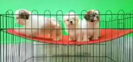 Shih tzu pups available