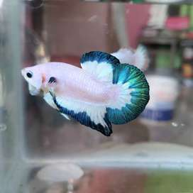 Cupang/betta bluerim