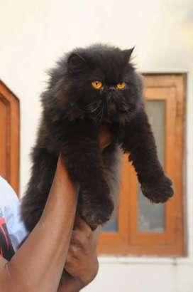 All types kitten available