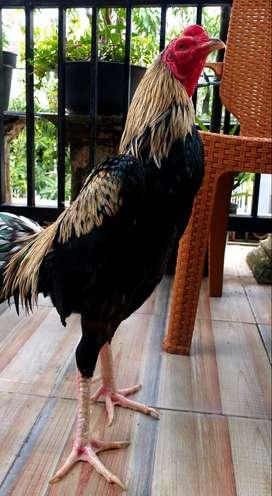 Ayam bangkok mangon sidoarjo uk 5 sd 5,5