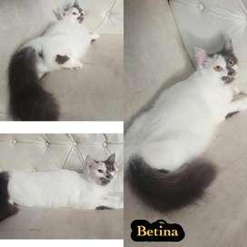 Kucing persia 6 bulan