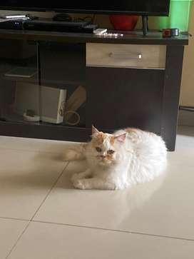 Kucing persia bulu kapas