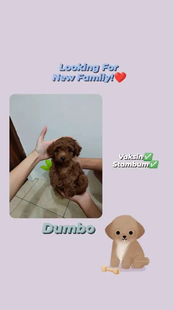 Dijual anjing red toy poodle size mini