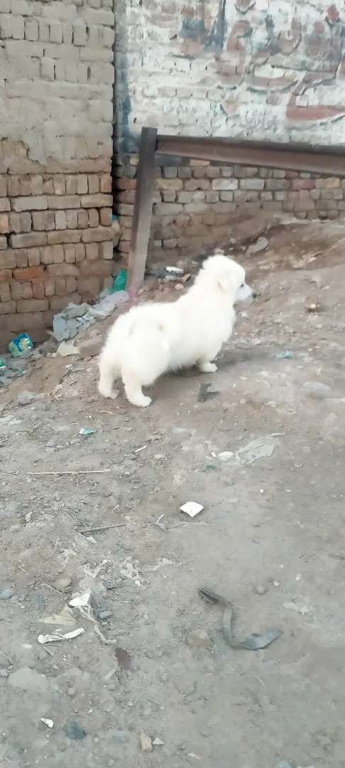 Russian puppy male 3 month age for sale