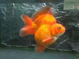 Ikan maskoki ryukin 3 ekor jumbo