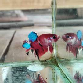 cupang koi multicolour
