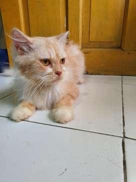Kucing Persia Medium Betina (Proven)